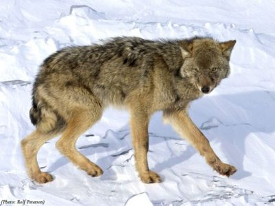 Wolf Scientists Support Delisting Wolves in Great Lakes