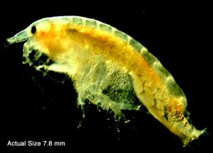 Amphipod Diporeia. Actual size 7.8 mm. Microphotograph taken by M. Quigley April 2000.