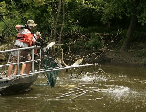 Electrofishing for the asian carp invasive species - Photo courtesy of U.S. Fish and Wildlife Service via Wikimedia Commons