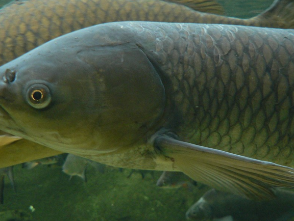 Grass carp eggs discovered in Lake Erie tributary