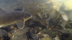 Bridge Over Warming Water: Grants fund fish habitat conservation projects around the Great Lakes