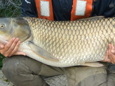 New Evidence of Grass Carp in Three Great Lakes
