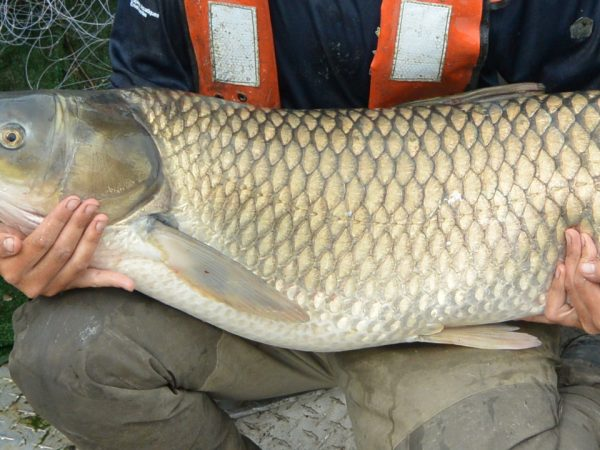 Grass Carp image courtesy of Fisheries and Oceans Canada/Pêches et Océans Canada