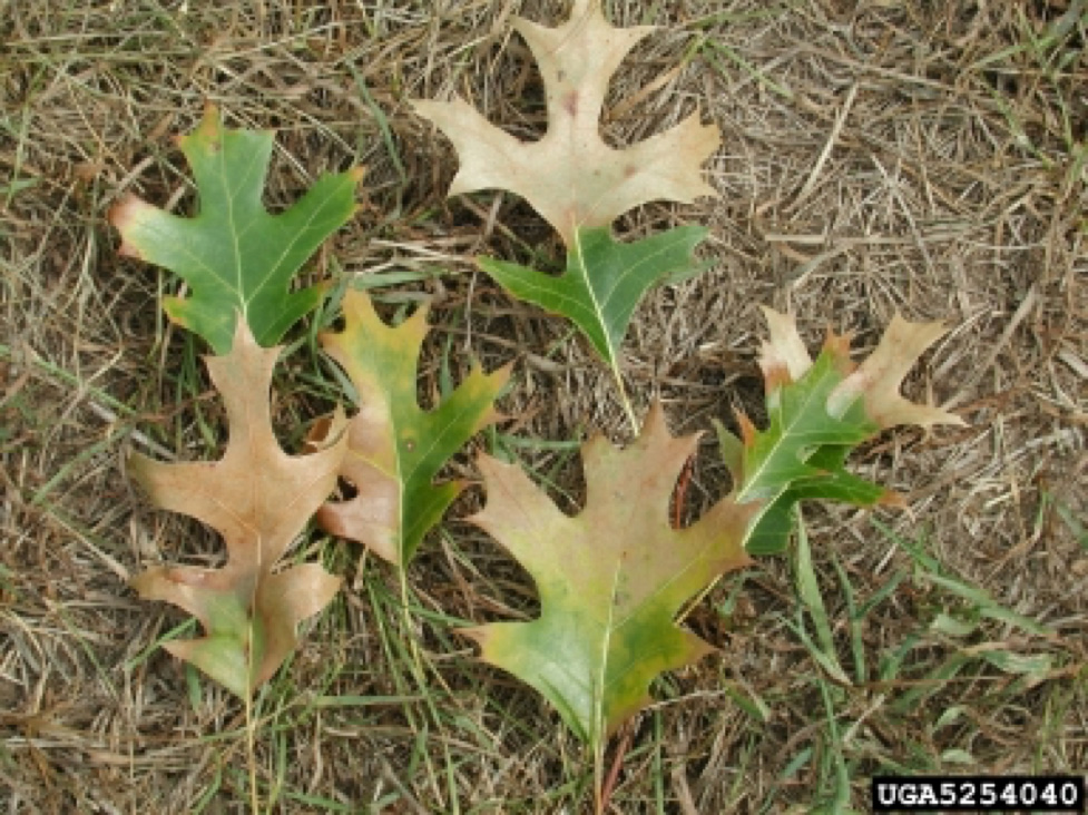 Oak Wilt Leaves Effected Great Lakes Now