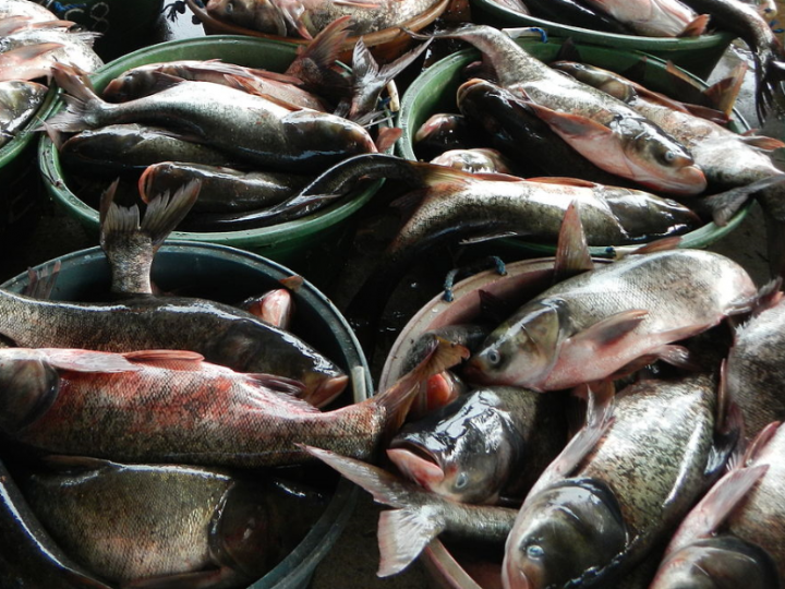 Looming threat of Asian carp in Great Lakes