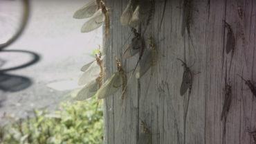 Mayflies - Lake Erie
