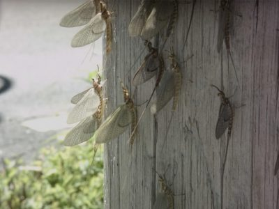 How healthy is Lake Erie? The Mayflies know.