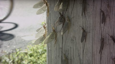 Mayflies - Lake Erie