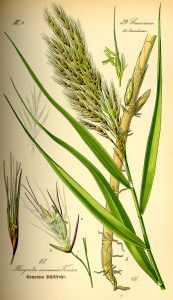 Photo courtesy of www.biolib.de via Wikimedia