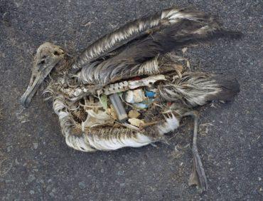 Stomach contents of a dead albatross, courtesy wikimedia via Creative Commons - Chris Jordan