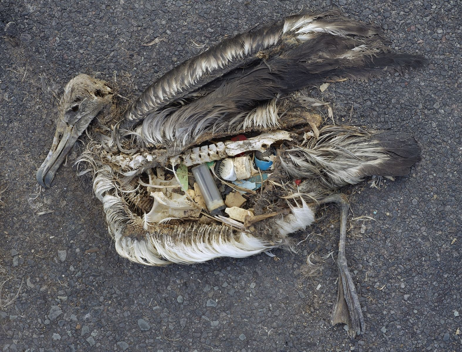 Stomach contents of a dead albatross, courtesy wikimedia via Creative Commons - Chris Jordan