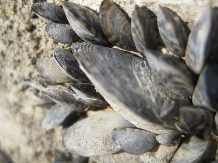 """Lake Superior Zebra Mussels: """"A big disappointing surprise"""""""