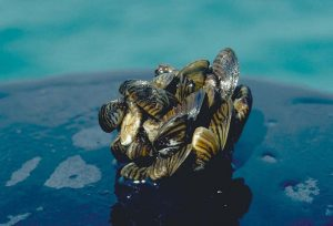Zebra mussel cluster Photo taken by D Jude Univ of Michigan