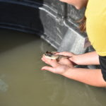 Sturgeon Stocking: COVID-19 puts pause on popular sturgeon release program