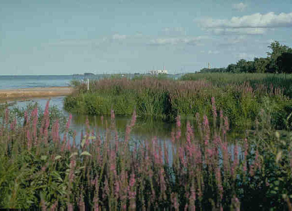 Purple loosestrife. Invasive plant. Photo by NOAA Great Lakes Environmental Research Laboratory Follow