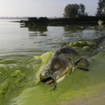 Moderate algal bloom forecast for Lake Erie this summer
