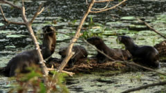 Great Lakes Moment: River otters return to western Lake Erie