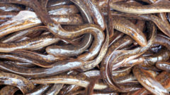 Complete Eradication: Researchers look at removing sea lamprey from the Great Lakes
