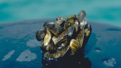 Mussel-Phosphorus Puzzle: Invasive mussels are reshaping the chemistry of the Great Lakes