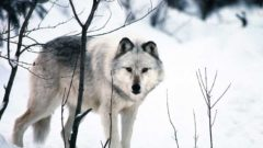 Lawsuit: Michigan wolf advisory group stacked with hunting advocates