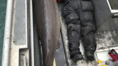 Hold on! 240-pound fish, age 100, caught in Detroit River