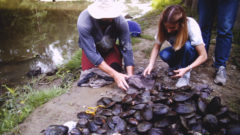 I Speak for the Fish: Mussel memory, the race to save an endangered species