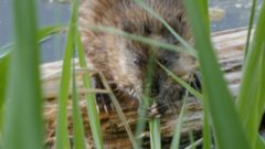 I Speak for the Fish: Shell middens reveal interesting clues about the humble muskrat