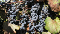 Great Grapes: Soil and climate have made the Great Lakes a top wine-producing area
